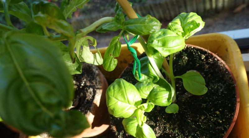 Basilic Planter Pousser