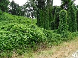 Kudzu overgrown weed