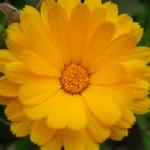 close up Calendula officinalis