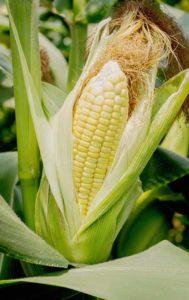sweet corn on the stalk in a backyard