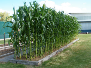 How To Grow Sweet Corn In Your Backyard, An A To Z Guide