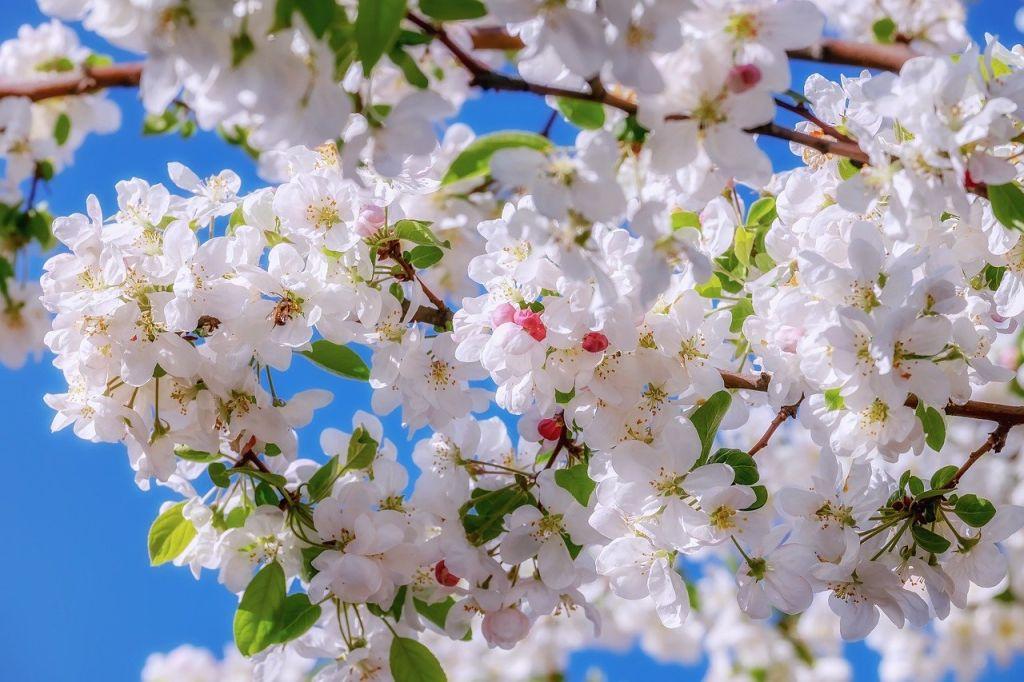 cerisier fleurit
