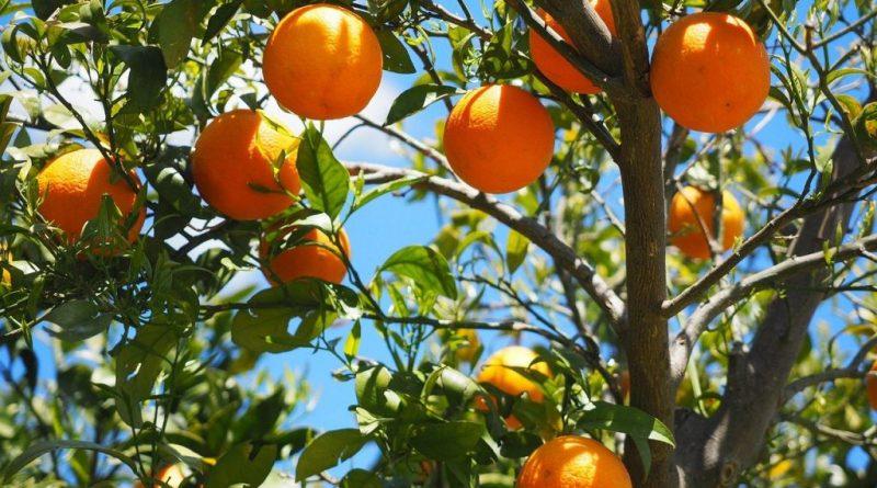 orange fruit arbre